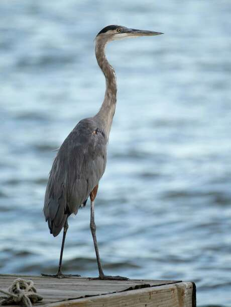 Birds like this blue heron may start spilling into neighborhoods if their Lake Conroe island disappears. Photo: Melissa Phillip, Staff / © 2015 Houston Chronicle