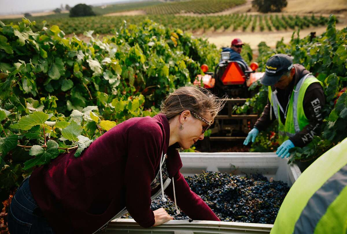 Nicole Salengo, the winemaker at Berryessa Gap, checks on the malbec grapes being harvested at their winery in Winters, Calif., on Monday, September 14, 2015.
