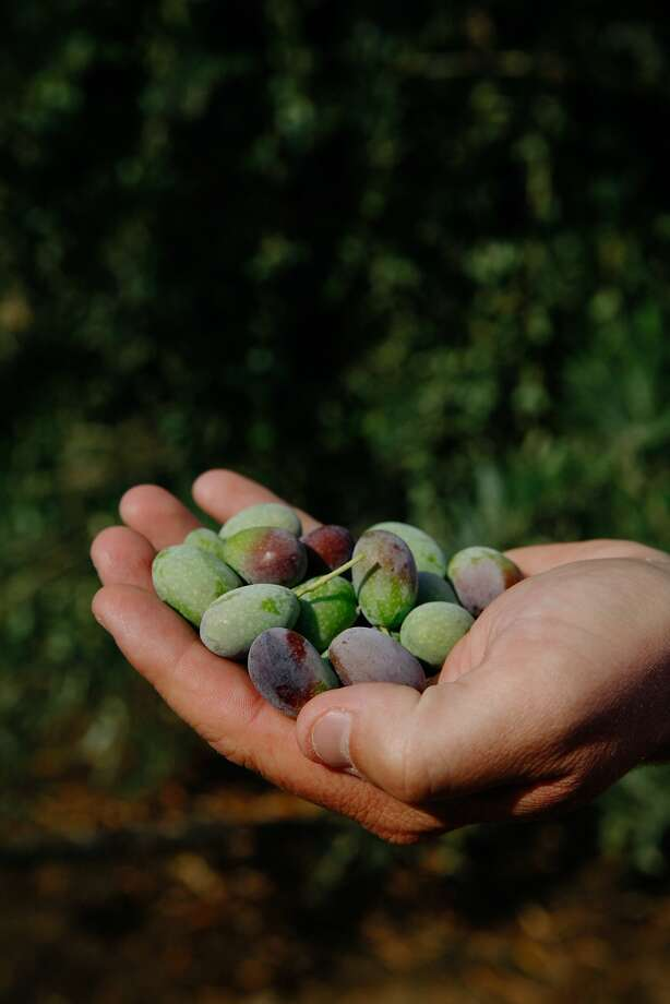 Farm manager Jim Etters holds Frantoio olives in one of the olive groves at Seka Hills in Brooks. Photo: Sarah Rice, Special To The Chronicle