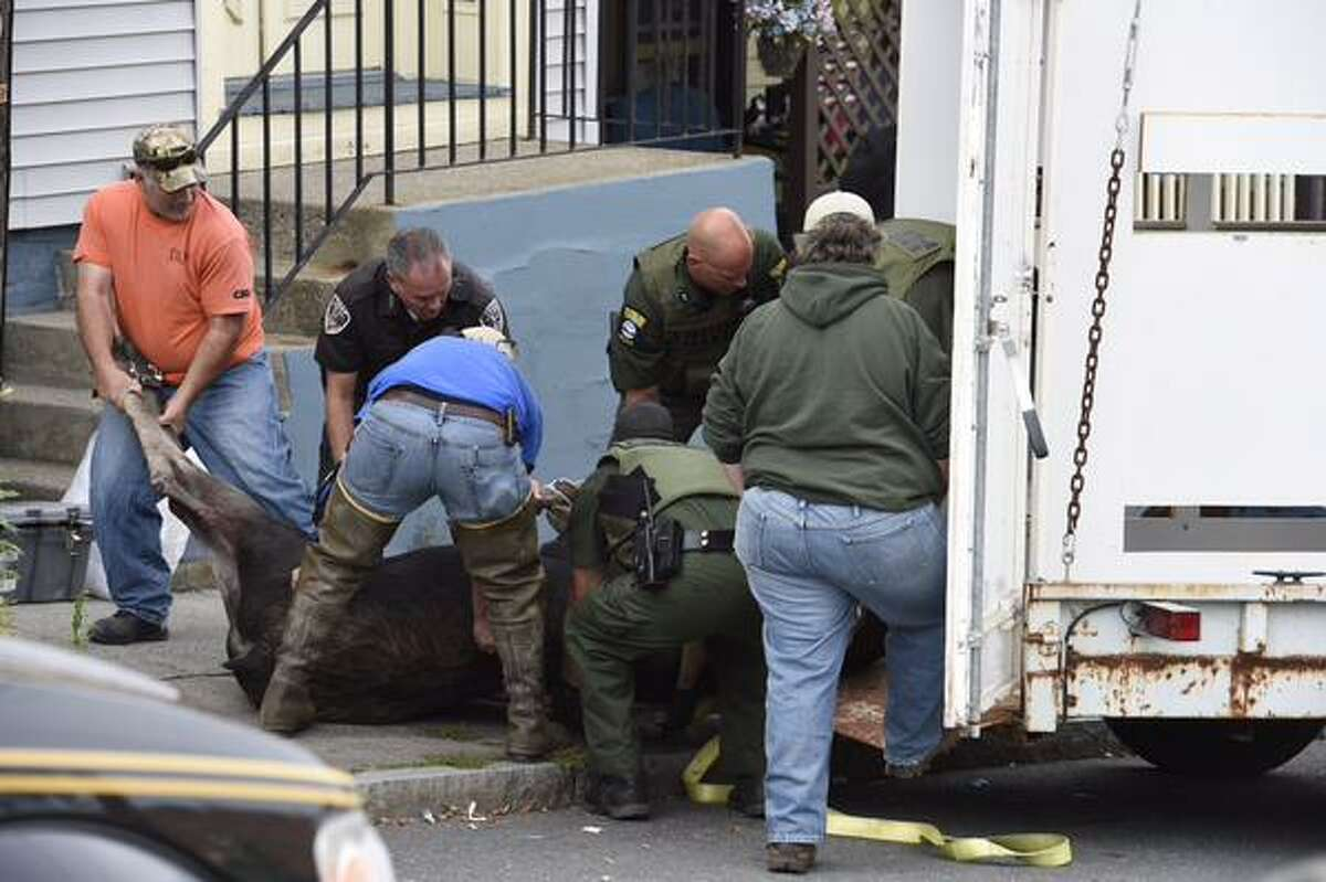 A moose is sedated after being caught in an alley on Middleburgh near Ninth in Troy, NY, on Monday, Sept. 21, 2015. It is to be returned to the wild, the DEC said. (Skip Dickstein/Times Union)