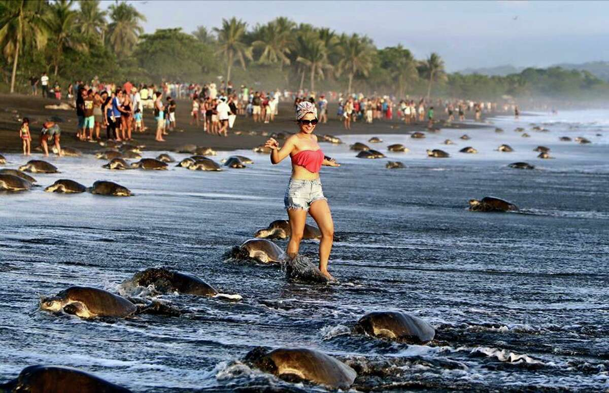 Mobs of people showed up at Ostional Beach in Costa Rica to see the nesting turtles on the weekend of September 5, 2015.