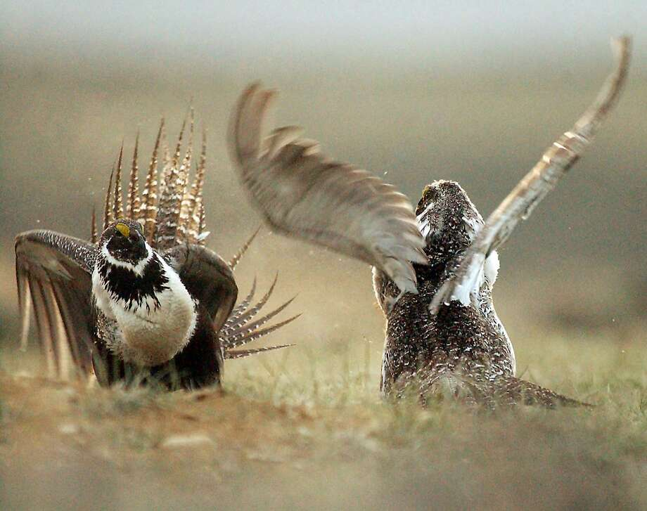 Male sage grouse fight for the attention of a female. The bird that once numbered in the millions is now at 500,000 in 11 states. Photo: Jerret Raffety, Associated Press