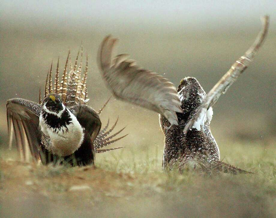 Male sage grouses fight for the attention of a female, southwest of Rawlins, Wyo. The ground-dwelling bird, whose vast range spans 11 Western states, does not need federal protections, the Interior Department said Tuesday, following a costly effort to reverse the species' decline without reshaping the region's economy. Photo: Associated Press File Photo / Rawlins Daily Times