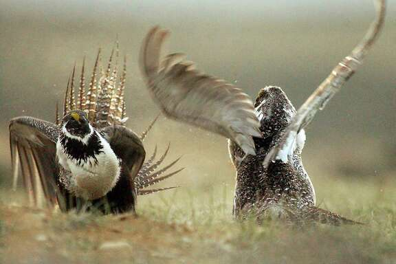 The sage grouse is known for its elaborate courtship ritual in which males, like these in a prairie near Rawlins, Wyo., perform a dance in order to attract females.