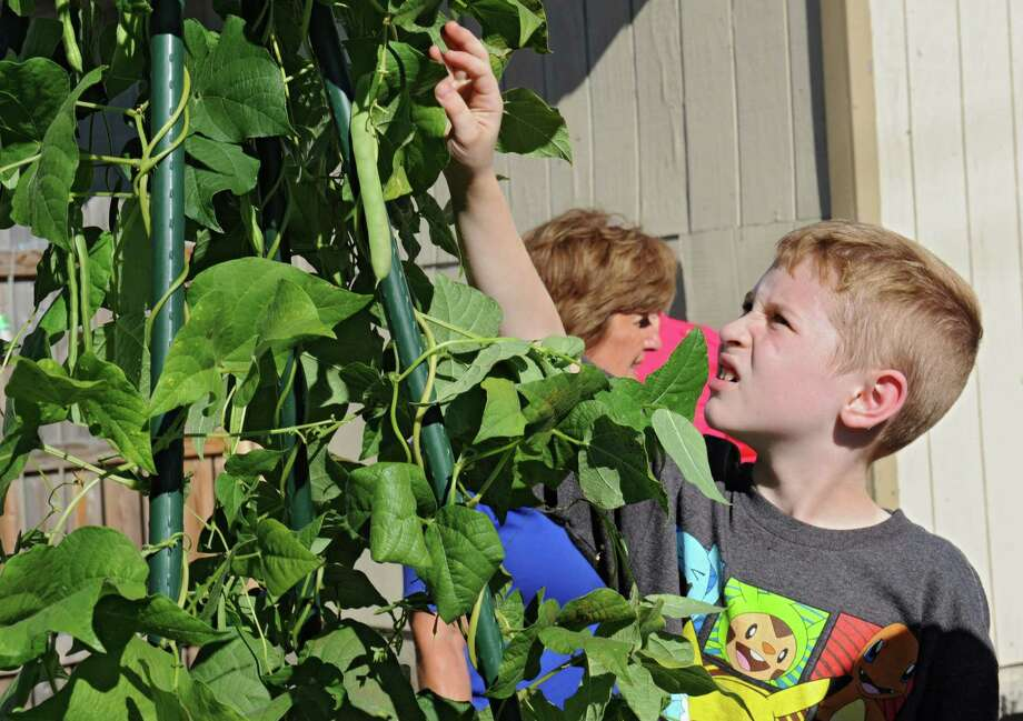 Cameron Volk. 7, of Albany picks a green bean as he participates in a garden scavenger hunt at 15-LOVE on Wednesday, Sept. 23, 2015 in Albany, N.Y. 15-LOVE hosted an open house and play day with a free book giveaway to celebrate their 25th Anniversary. (Lori Van Buren / Times Union) Photo: Lori Van Buren / 10033482A