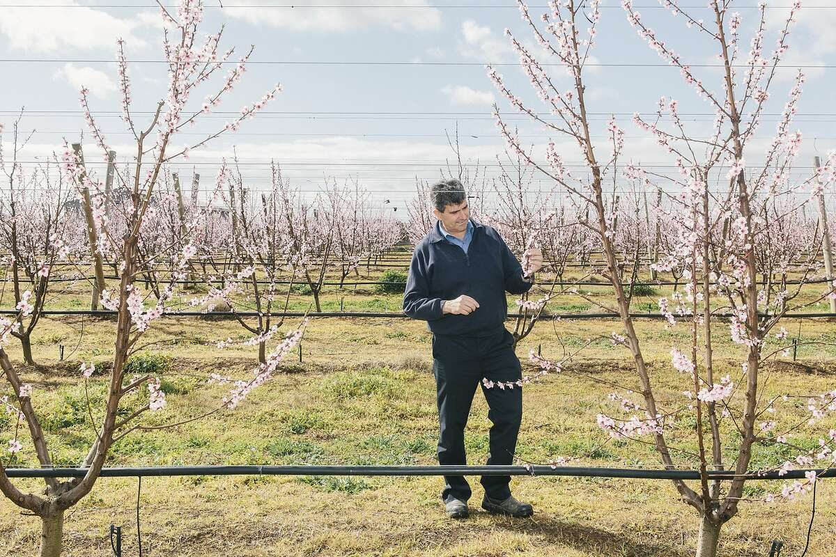Rocky Varapodio, major stone fruit farmer and owner of Oakmoor Orchards in Ardmona, Victoria, Australia. Shot on August 28, 2015.