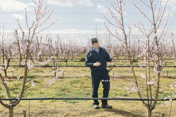 Rocky Varapodio, major stone fruit farmer and owner of Oakmoor Orchards in Ardmona, Victoria, Australia. Shot on August 28, 2015.