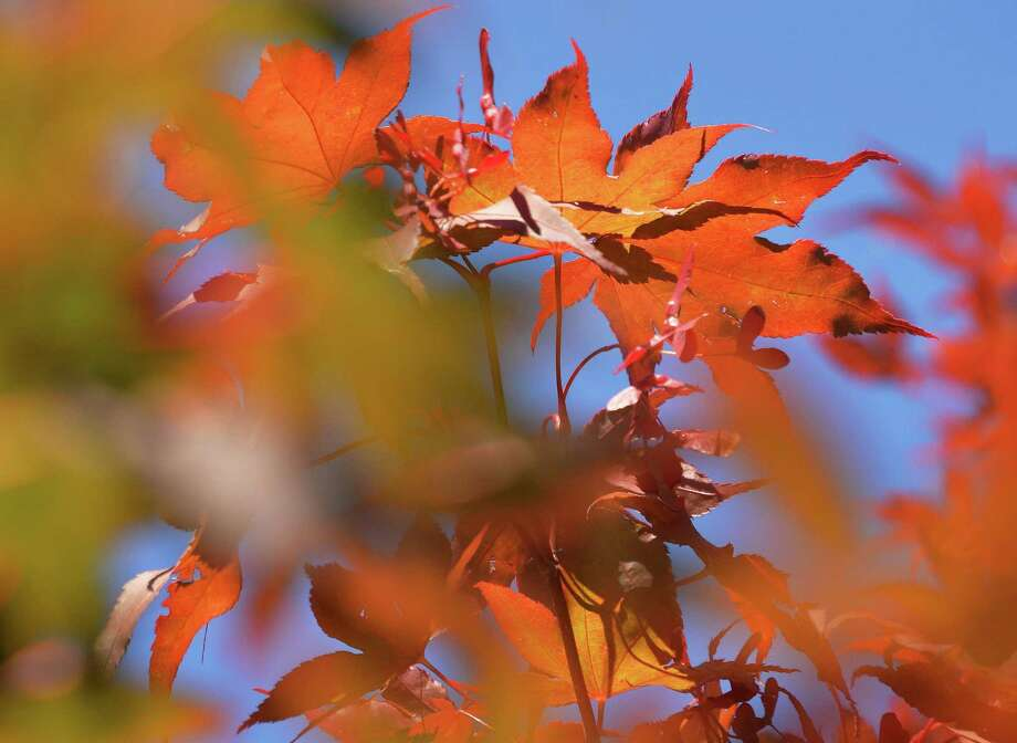 Autumn's first day sees this tree's leaves already beginning to turn Wednesday Sept. 23, 2015 in Rotterdam, NY.  (John Carl D'Annibale / Times Union) Photo: John Carl D'Annibale