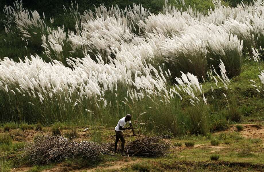 An Indian villager collects dried branches of a tree to use for cooking purposes at his home on the banks of the River Kuakhai, on the outskirts of the eastern Indian city Bhubaneswar, India, Wednesday, Sept. 23, 2015. Many rural families use wood widely as household fuel. Photo: Biswaranjan Rout, Associated Press