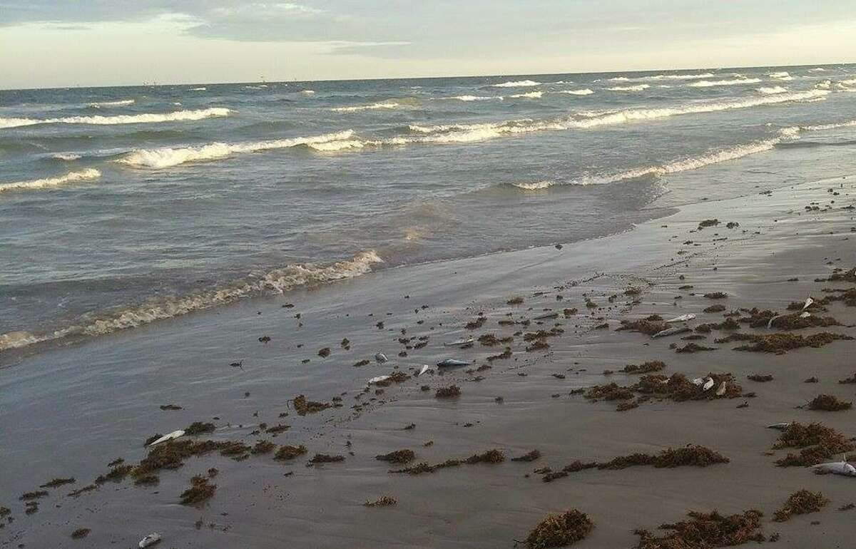 Numerous fish can be seen sitting lifelessly on the Padre Island National Seashore.