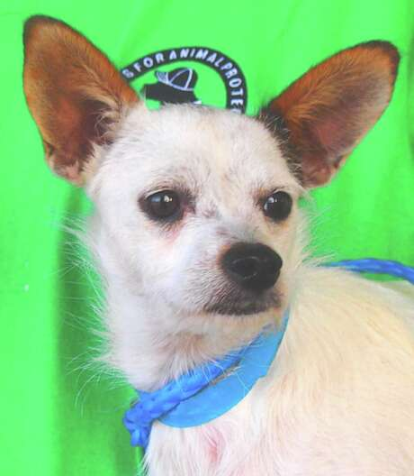 Buddy will be available for adoption at 11 a.m. Friday at Citizens for Animal Protection, 17555 I-10 W. More information: cap4pets.org or 281-497-0591. Photo: Citizens For Animal Protection