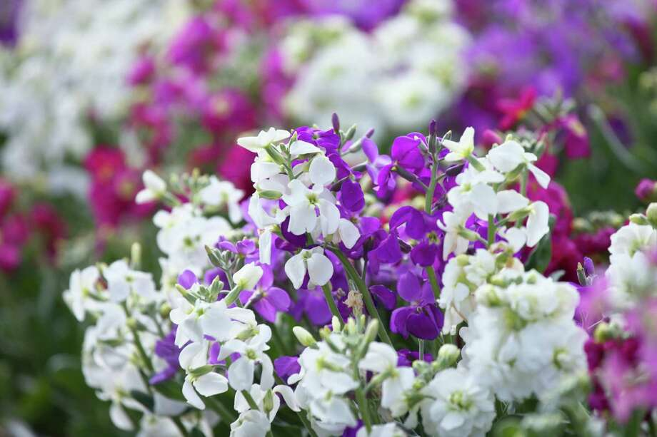 The pretty pastel blooms of stock are alluring in the garden. Their scent makes them a star as cut flowers. Photo: Getty Images /Getty Images /Score RF / Score RF