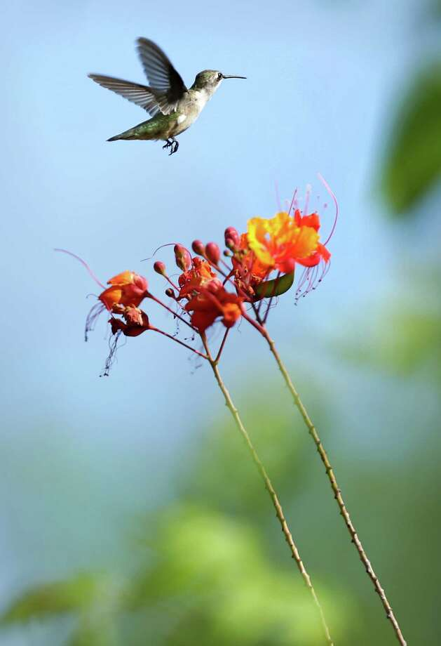 The fast-flying birds need a mix of trees, vines and shrubs to give them places to feed and perch. Photo: Bob Owen /San Antonio Express-News / San Antonio Express-News