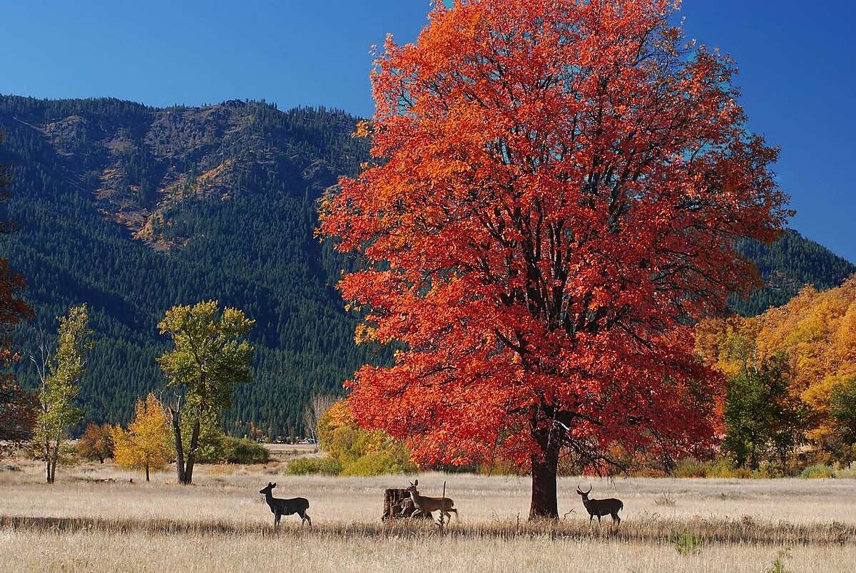 Deer and fall colors in Indian Valley, Plumas County.