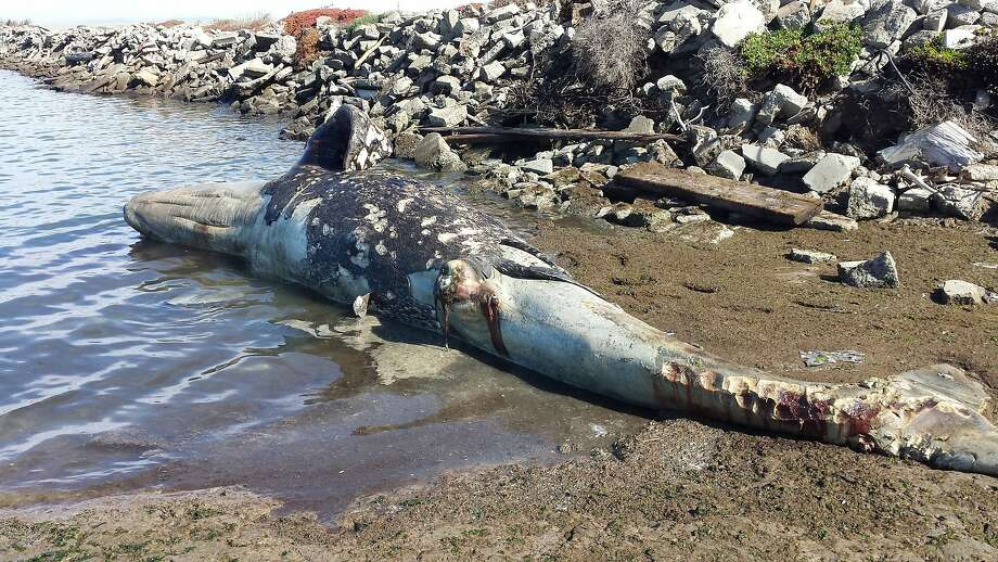A dead whale washed up on the Don Edwards San Francisco Bay National Wildlife Refuge in Fremont, officials said Thursday. Photo: U.S. Fish And Wildlife Service