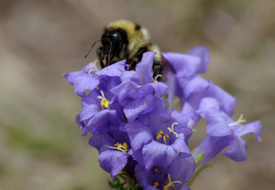Study finds global warming and evolution are reshaping the bodies of some bumblebees.  Photo: Candace Galen, HONS / Science