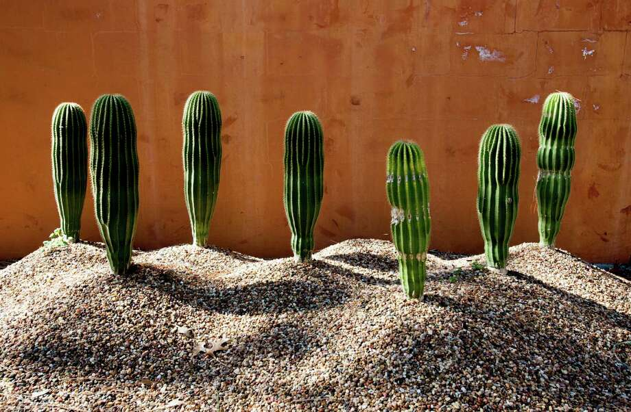 Cactuses are displayed on quick-draining gravel pedestals at Peckerwood Garden. John Everett photo Peckerwood Garden is the creation of John Fairy near Hempstead, Tx. in on 1-28-15.  photo by John Everett Photo: John Everett / John Everett