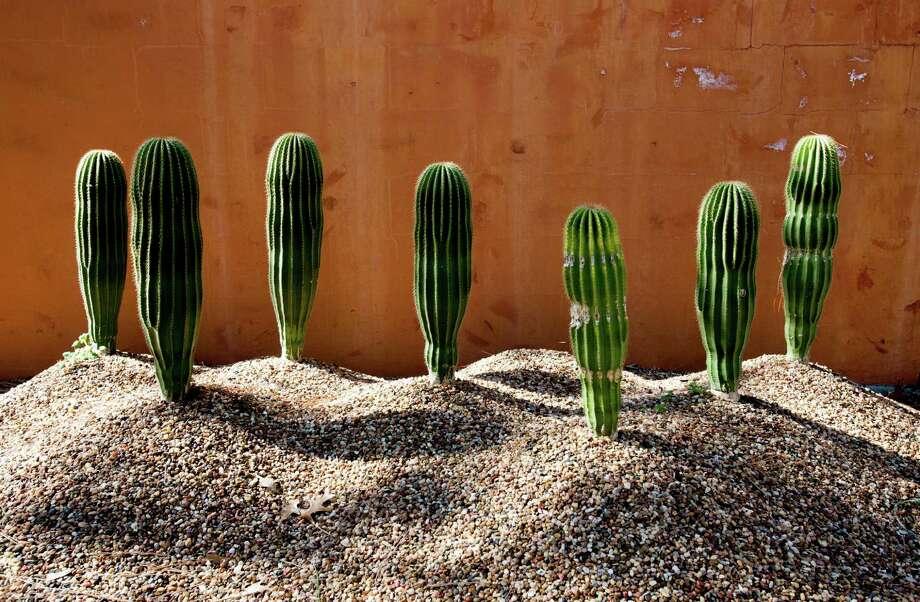 Cactuses are displayed on quick-draining gravel pedestals at Peckerwood Garden. John Everett photo Peckerwood Garden is the creation of John Fairy near Hempstead, Tx. in on 1-28-15.  photo by John Everett Photo: John Everett / John Everett