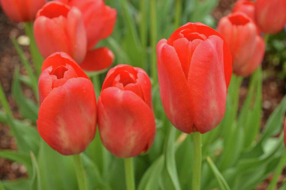 The Bulb and Plant Mart will offer more than 350,000 bulbs including a new tulip for Houston called Sky High Scarlet. Photo: Courtesy Of