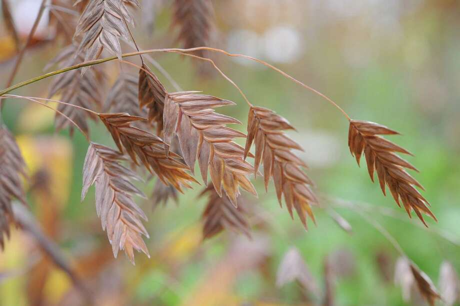 Northern sea oats seedhead (Chasmanthium latifolium), an ornamental grass. (Margaret Roach)