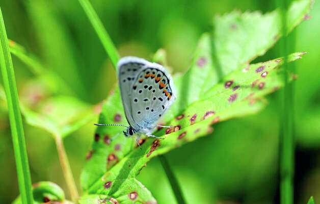 A recently released Karner Blue butterfly rests on a plant at the Albany Pine Bush Preserve  on Wednesday, July 9, 2014, in Albany, N.Y.   This  butterfly is part of a breeding program at the center.    (Paul Buckowski / Times Union) Photo: Paul Buckowski / 00027701A