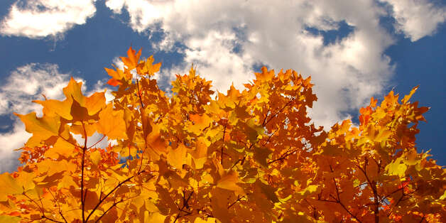 TIMES UNION STAFF PHOTO WILL WALDRON--Yellow Maple leafs are contrast against a blue sky on the University at Albany campus. Monday October 21, 2002. Photo: WILL WALDRON / ALBANY TIMES UNION