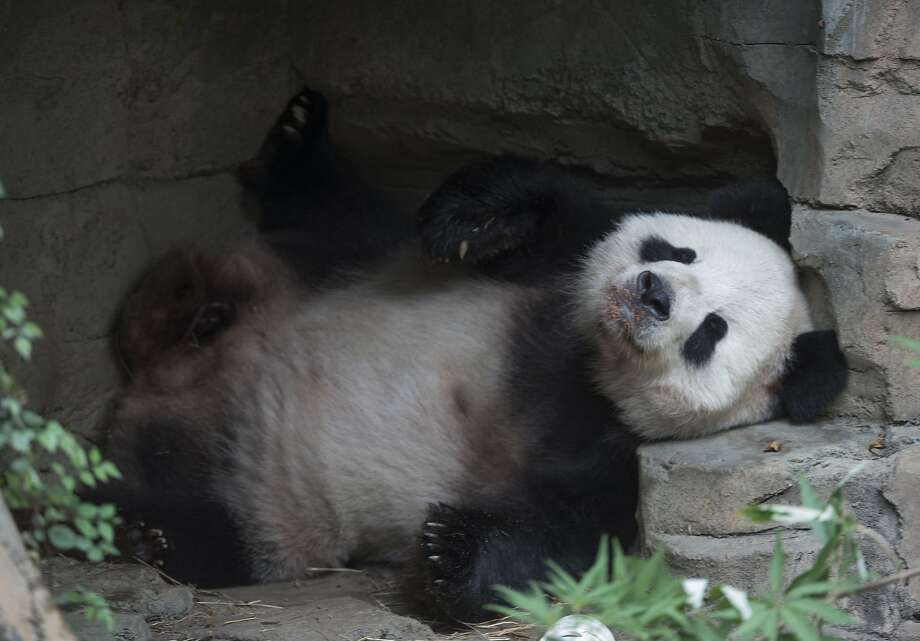 Giant Panda Tian Tian rests after an event featuring First Lady Michelle Obama and Madame Peng Liyuan, First Lady of the People's Republic of China, at the Giant Panda exhibit at the Smithsonian National Zoo on September 25, 2015 in Washington, DC.  Photo: Molly Riley, AFP / Getty Images