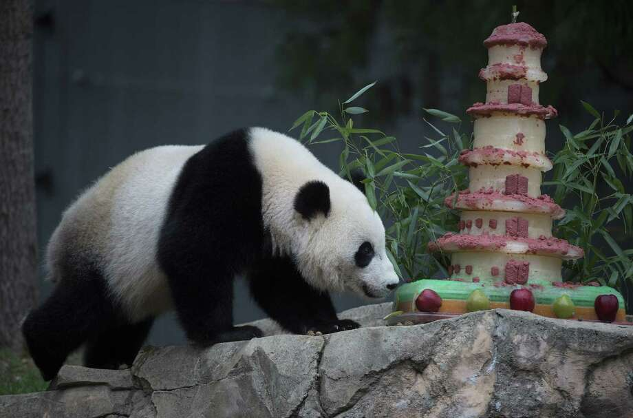 Giant Panda Bao Bao eats a treat before an event featuring First Lady Michelle Obama and Madame Peng Liyuan, First Lady of the People's Republic of China, at the Giant Panda exhibit at the Smithsonian National Zoo on September 25, 2015 in Washington, DC.  AFP PHOTO/MOLLY RILEYMOLLY RILEY/AFP/Getty Images Photo: MOLLY RILEY, Stringer / AFP / Getty Images / AFP
