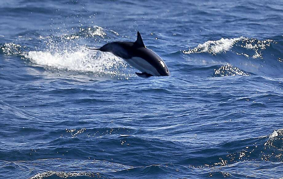 A short- beaked dolphin is spotted from aboard the research vessel during its data- gathering trip looking for signs of marine life west of the Farallon Islands. Photo: Michael Macor, The Chronicle