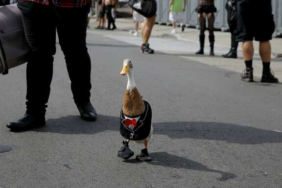 Yoda, a tuxedo-wearing duck, waddles around the Folsom Street Fair in San Francisco, California, on Sunday, Sept. 27, 2015.