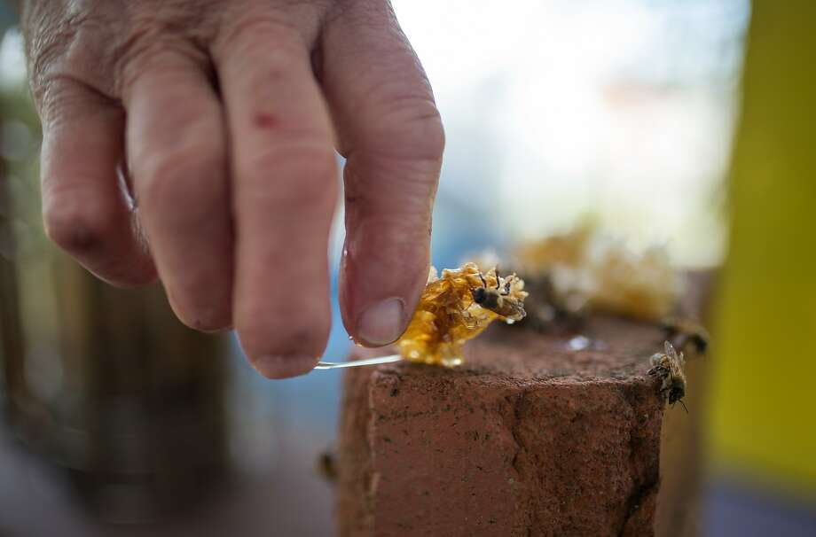 """Paul Koski, member of the board of directors of the San Francisco Beekeepers Association, tends to a neighbors hive, of docile European bees at Garden for the Environment on Sunday, Sept. 27, 2015 in Berkeley, Calif.   An Africanized breed of honeybees, sometimes known as """"Killer Bees"""" because of their swarming, aggressive and deadly nature were found in Lafayette near the southeast side of Briones Regional Park by UC San Diego researchers. Photo: Nathaniel Y. Downes, The Chronicle"""