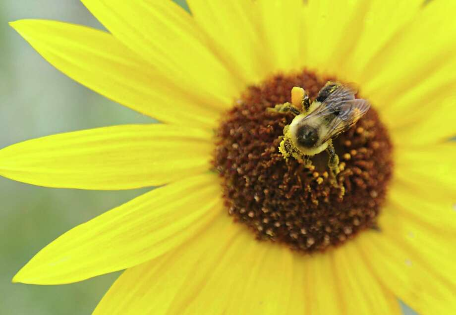 A common eastern bumble bee collects pollen on flowers outside the Cornell Cooperative Extension on Tuesday, Sept. 22, 2015 in Albany, N.Y. Inside the Cornell Cooperative Extension a conference was being held about bee pollination, the state of bees and bee-friendly policies that governments and homeowners can use. (Lori Van Buren / Times Union) Photo: Lori Van Buren / 00033450A