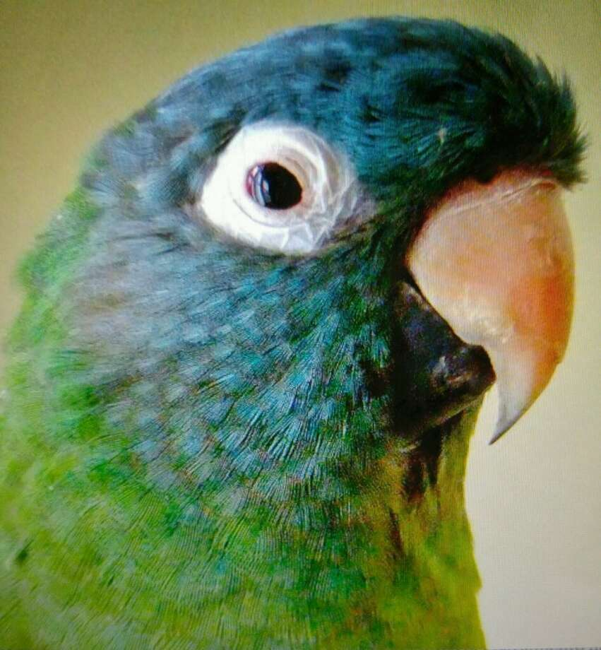 Obie, a Conure parrot who lives in Springdale, has been missing for days. He flew the coop Wednesday and hasn't been seen since. Photo: Margareta Sanchez / Contributed Photo / Stamford Advocate Contributed