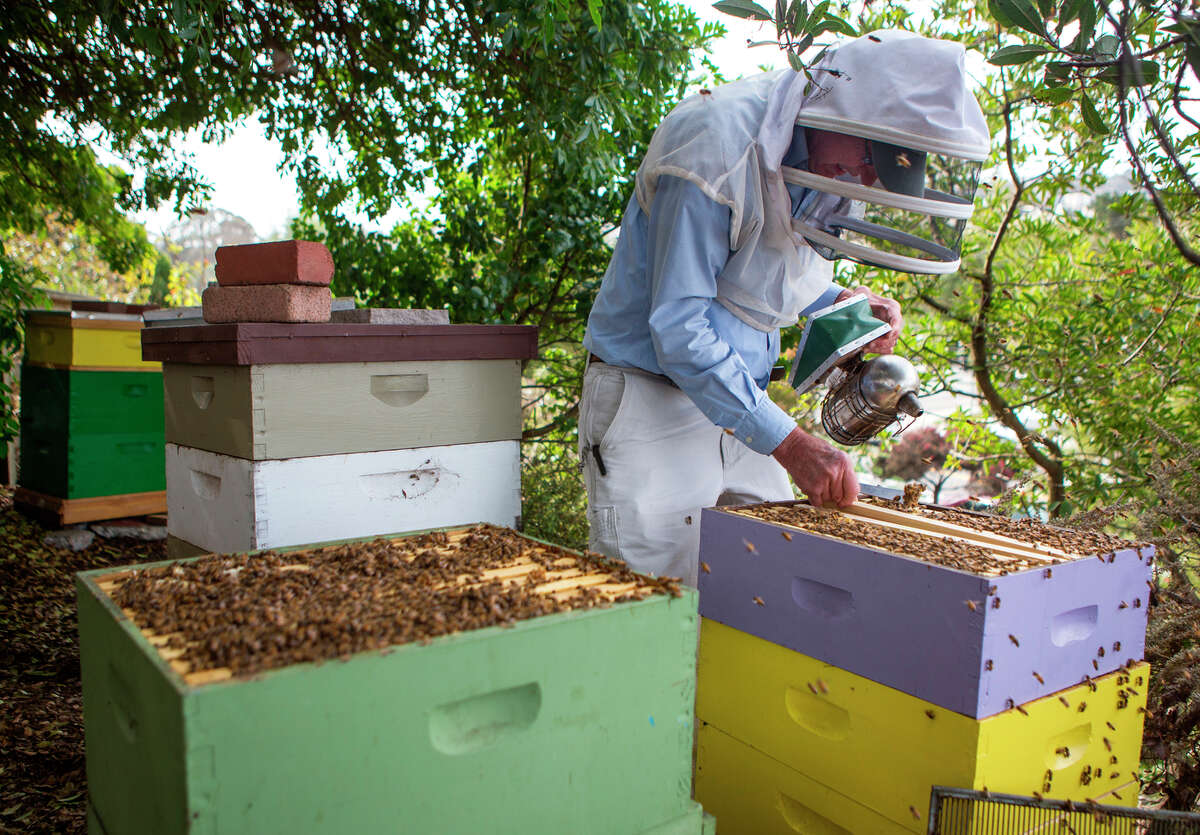 Paul Koski of the S.F. Beekeepers Association tends a hive of European bees at the Garden for the Environment in Berkeley. Koski doubts the Africanized bees will ever thrive in cool S.F.