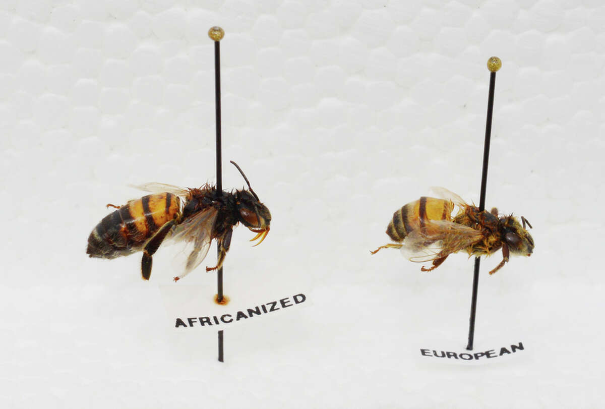 Although they differ slightly in size, most people won't be able to tell the Africanized bee (left) from the European variety.