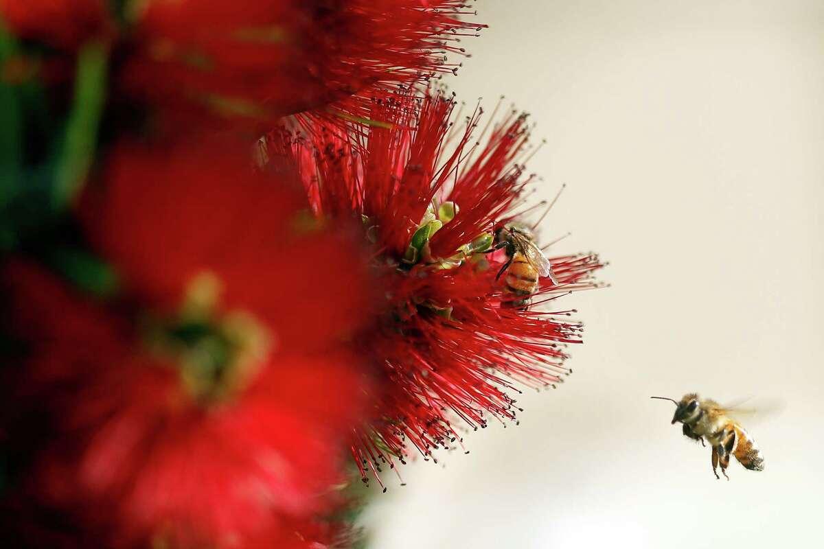 Honeybees on a bush on Horizon Drive in Martinez, Calif., on Thursday, September 24, 2015.