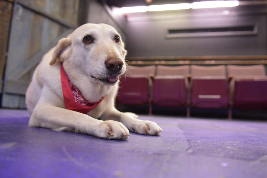 "Atascosa Bexar (Addy for short), a lab/hound mix, takes a break during a rehearsal for ""Of Mice And Men"" at the Cellar Theater. Photo: Robin Jerstad /San Antonio Express-News"