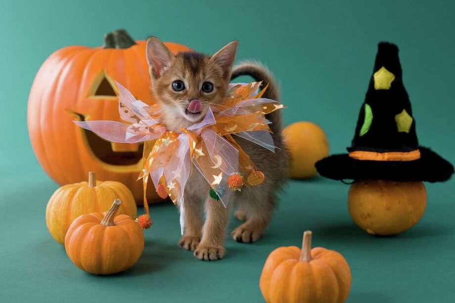 Kittens vs. Puppies: Who wore it best, costumesCategory:HalloweenThis little tiger is really working the set and the spectacular collar. Just look at him strut around. He knows he's owning it. Photo: MIXA, Getty Images / MIXA
