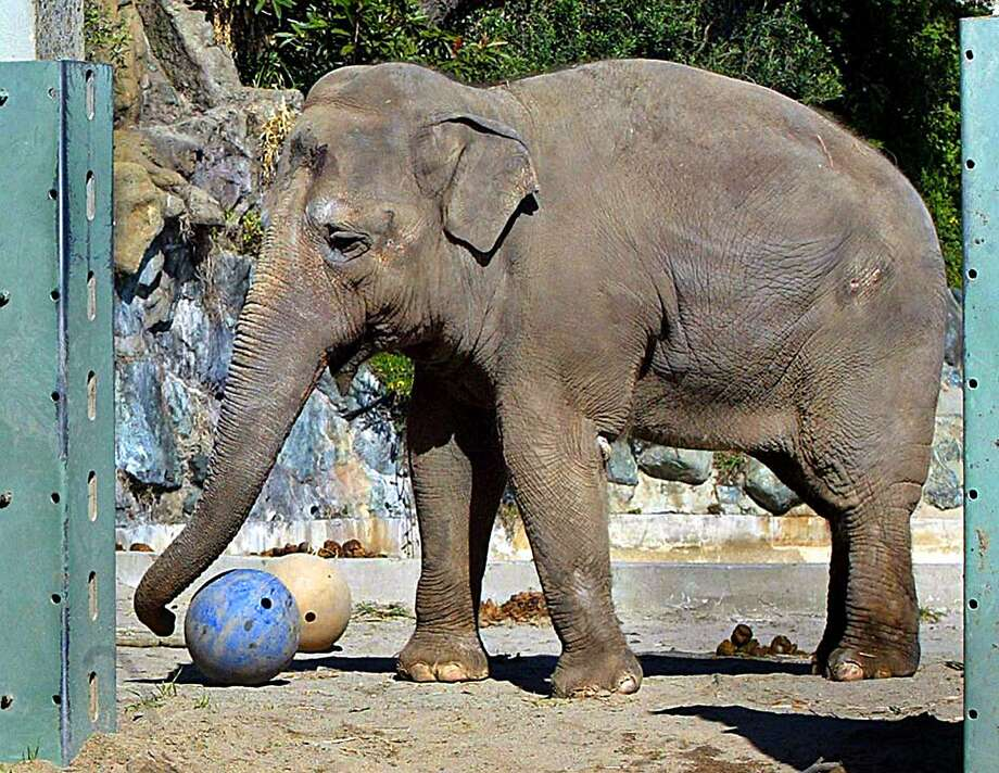 Tinkerbelle is seen playing at the San Francisco Zoo Thursday, March 4, 2004 in San Francisco. The popular elephant spent most of its life at the San Francisco Zoo. Photo: Deanne Fitzmaurice, AP