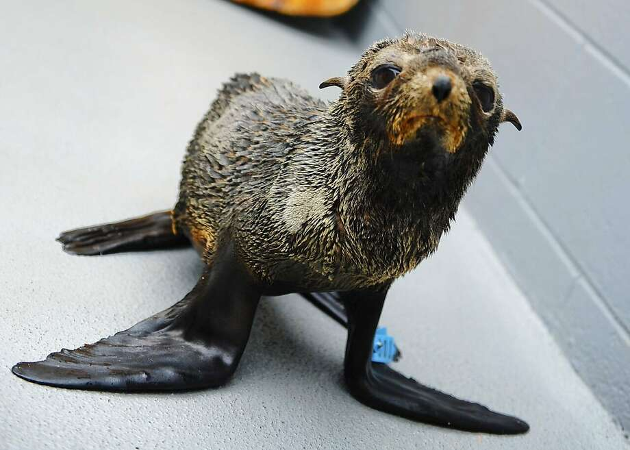 The Marine Mammal Center has treated an influx of beached Guadalupe fur seals this year. Photo: Dana Angus/Marine Mammal Center