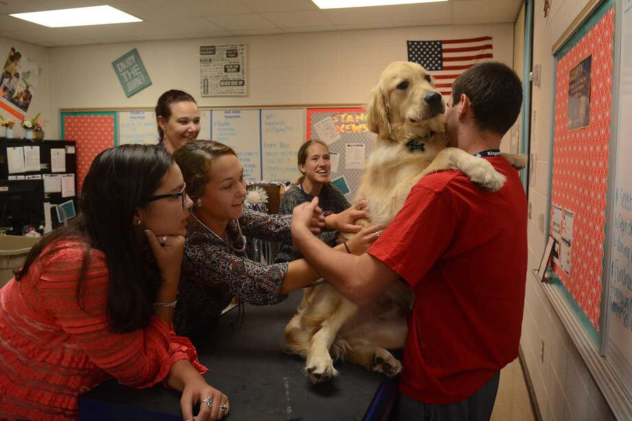 "Kingwood High School senior Alaina Hergott, center, with senior classmates Megan Storms, 17, clockwise from bottom left, teacher Christina Young, and Kaylee Florian, ""examines"" ""Bear"", a 10-month old English Cream American Golden Retriever, held by his owner and classmate Austin Shepardson, during an Advanced Animal Science class at KHS on Sept. 24, 2015.(Photo by Jerry Baker/Freelance) Photo: Jerry Baker, Freelance"