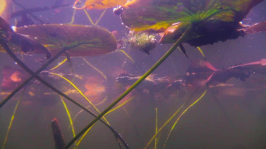 "Mark Fox's video installation ""Giverny: Journal of an Unseen Garden"" offers an under-the-surface view of Claude Monet's famous water garden. Photo: Hiram Butler Gallery"