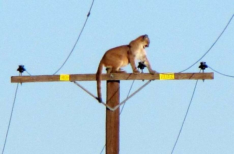 Victorville Daily Press staff photographer Peter Day took a photo of mountain lion atop a power pole in California's Lucerne Valley on September 29, 2015. Photo: Peter Day, Victorville Press