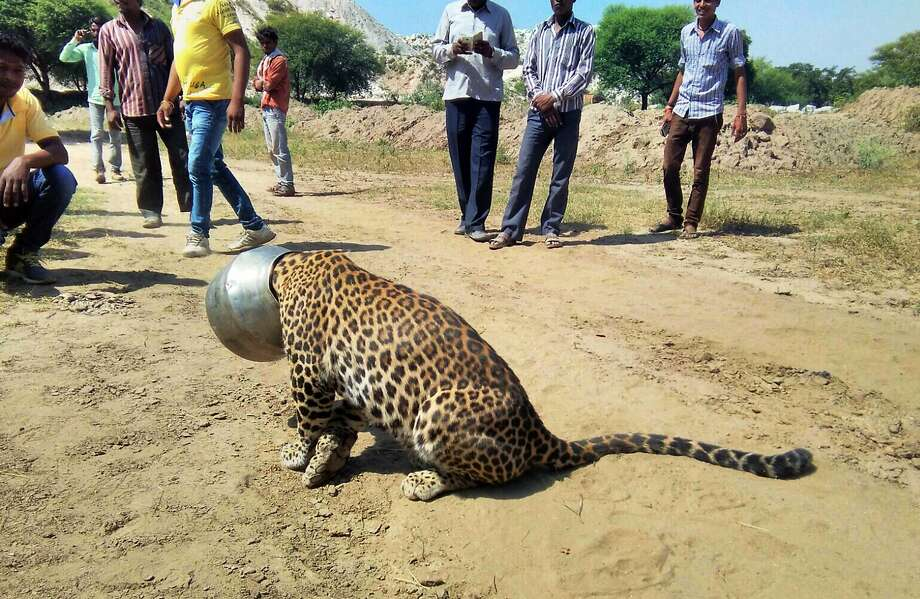 A leopard foraging for water got its head stuck Wednesday in a metal pot at a village in Rajasthan state, India. Photo: Kabir Jethi, Associated Press