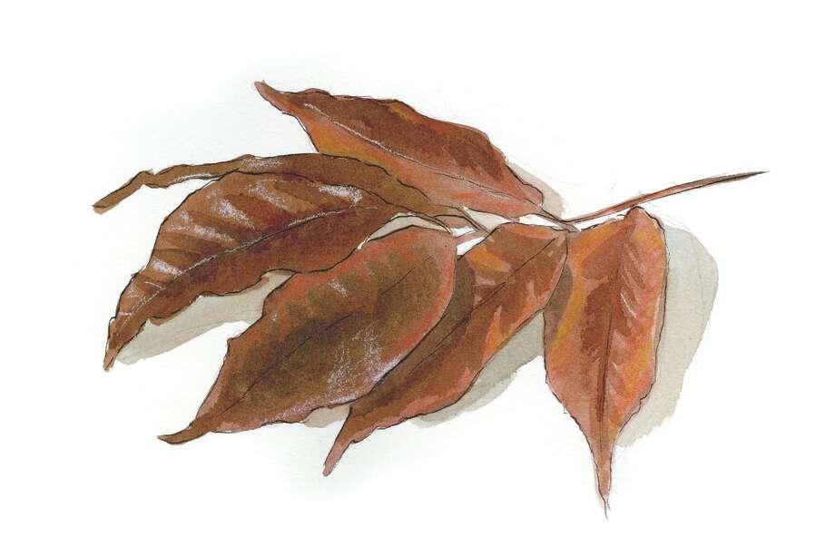 American Ash leaf. (Illustration by Tyswan Stewart/Times Union)