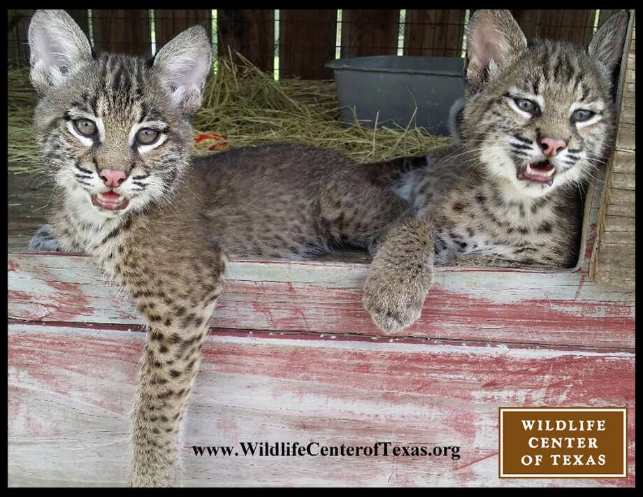 "The Wildlife Center of Texas rescued two tiny bobcat brothers, less than a pound each, when city lawnmowers destroyed their den in April. On Tuesday, they were released into the woods to rejoin Texas wildlife.""Thanks to the compassion of the people who found them and our dedicated volunteers, they got the second chance that the deserve,"" the Center wrote on its Facebook page. Photo courtesy of the Wildlife Center of Texas"