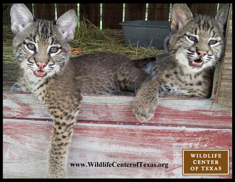 Adorable Baby Bobcats Returned To Wild Near Houston Houston Chronicle