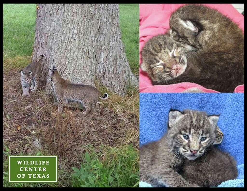 Ragdoll kittens for sale Dallas Metroplex area  Texas