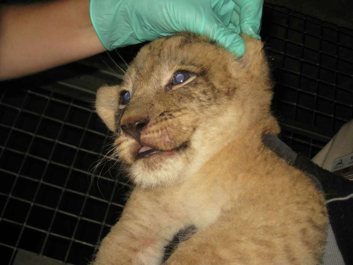 The three newborn lion cubs at the San Antonio Zoo receive vaccinations and microchips Sept. 25, making them one step closer to entering their living area at the zoo.
