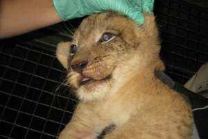 First photos: Lion cubs make public debut at the zoo - Photo